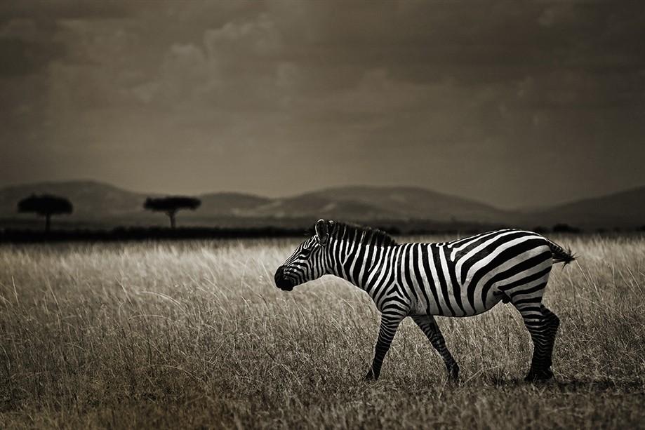 2016-Latre-zebra-0004-web